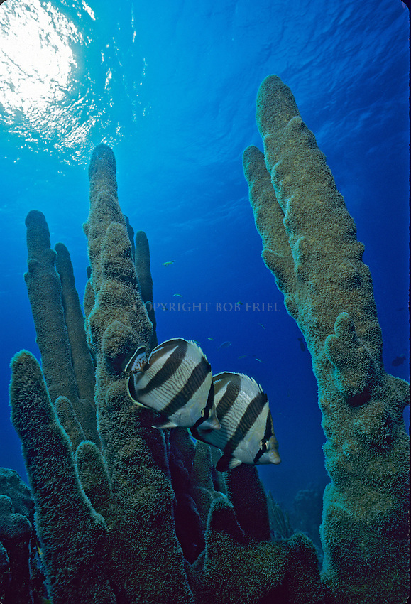 banded butterfly fish swim through pillar coral on Bahamas coral reef