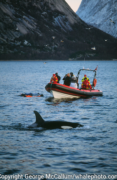 Killer whale, Orcinus orca, near Whale watching zodiac and snorkelers, Tysjord, Arctic Norway, North Atlantic