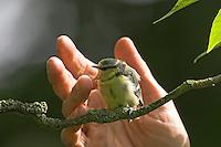 Blaumeise, handaufgezogenes Küken wird freigesetzt, ausgewildert, Blau-Meise, Meise, Jungvogel, Jungvögel, Cyanistes caeruleus, Parus caeruleus, Blue Tit, Mésange bleue
