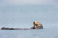 Sea otter, Prince William Sound, southcentral, Alaska.