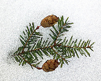 Fir bough and pine cones in the snow on a frosty morning in the Adirondacks