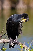 Cormorant bird preening feathers, Everglades, Florida, United States of America