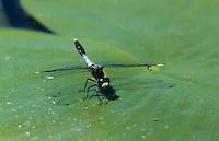 Zierliche Moosjungfer, Männchen, Leucorrhinia caudalis, lilypad whiteface, male, la Leucorrhine à large queue