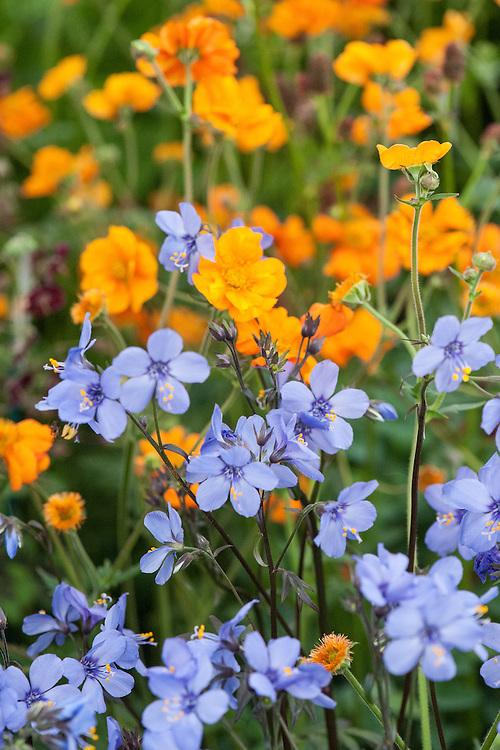 Orange Geum 'Princess Juliana' and blue Polemonium yezoense var. hidakanum 'Purple Rain', mid May.