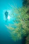 Sea of Cortez, Baja California, Mexico; a scuba diver swimming above Yellow Polyp Black Coral (Antipathes galapagensis) growing on the side of a rock wall, is silhouette against the sun