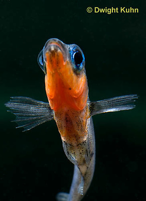 1S14-566z  Male Threespine Stickleback, Mating colors showing bright red belly and blue eyes, close-up of face, Gasterosteus aculeatus,  Hotel Lake British Columbia