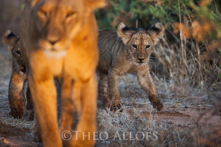 Kenya, Samburu, lioness with 2 cubs