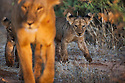 Kenya, Samburu, lioness with 2 cubs