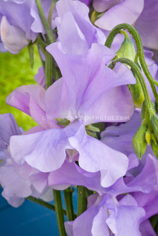 Lathyrus odoratus Sweet pea 'Chelsea Centenary' ('Crystal'), multifloral type, long stems and highly scented new variety, lavender color