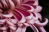 Detail of an elaborate and perfect dark pink ogiku chrysanthemum.<br />