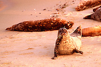 harbor seals at sunset, .Phoca vitulina, .La Jolla, San Diego, California