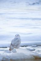 Snowy Owl on Ice  #B124