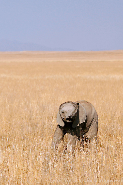 Africa, Kenya, Amboseli. Baby Elephant of Amboseli.