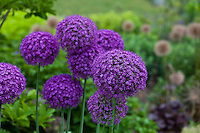 Large purple heads of Ambassador giant ornamental onion (Allium 'Ambassador')