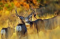 Mule Deer bucks (Odocoileus hemionus).  Western U.S., Fall.