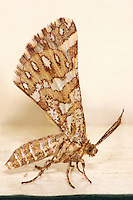 This tiny moths 'configuration' reminded my of a windsurfer..