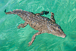 Gardens of the Queen, Cuba; an American Crocodile (Crocodylus acutus) floating on the water's surface