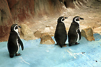 France. Alpes-Maritimes province. Antibes. Three penguins in Marineland. Marineland is an animal exhibition park and receives more than a million visitors per year. Penguins (order Sphenisciformes, family Spheniscidae) are a group of aquatic, flightless birds living almost exclusively in the southern hemisphere. Highly adapted for life in the water, penguins have countershaded dark and white plumage, and their wings have become flippers. 03.11.06 © 2006 Didier Ruef