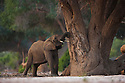 Namibia;  Namib Desert, Skeleton Coast,  desert elephant (Loxodonta africana) eating bark of acacia tree