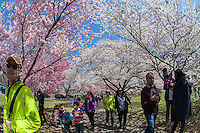Cherry blossoms are in bloom at Branch Brook Park in Newark, New Jersey on Sunday, April 20, 2014. Thousands of people make a pilgrimage to the park every spring to enjoy the cherry blossoms as they bloom in this 360 acre Essex County park. Designed by Frederick Law Olmstead in 1867, it contains over 4000 cherry trees surpassing the census In Washington DC. The first trees were originally a gift from Caroline Bamberger Fuld in 1926.   (© Frances M. Roberts)