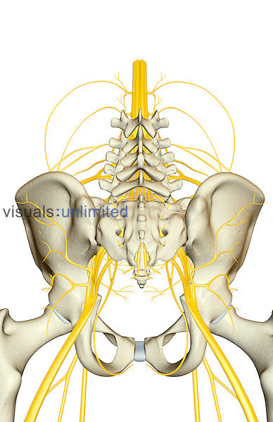 An inferior, posterior view of the nerve supply to the pelvis relative to the skeleton.  the spinal cord, lumbar and sacral plexuses are shown. Royalty Free