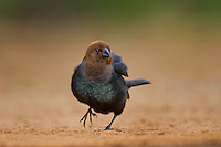 512460019 a wild brown-headed cowbird molothrus ater pauses at a small pond on santa clara ranch starr county texas united states
