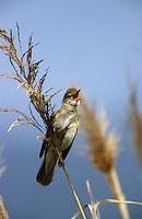 Drosselrohrsänger, singend im Schilf, Drossel-Rohrsänger, Rohrsänger, Acrocephalus arundinaceus, great reed warbler