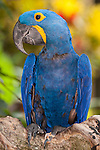 Bali, Indonesia; a blue and yellow hyacinth macaw (Anodorhynchus hyacinthinus), or hyacinthine macaw, is a parrot native to central and eastern South America. With a length (from the top of its head to the tip of its long pointed tail) of about 100 cm (3.3 ft) it is longer than any other species of parrot. It is the largest macaw and the largest flying parrot species.