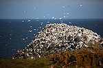 Gannet colony on Great Saltee, one of the Saltee Islands, off the coast of Co. Wexford, Ireland. © 2011 Dave Walsh