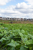 Suburban farming at McVean incubator farm in Brampton Ontario.