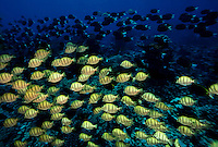 """Schools of black and yellow surgeon fish, Palmyra Atoll. The largest purchase to date for the Nature Conservancy is the Palmyra an atoll situated about 300 miles north of the equator.  Palmyra has five times as many coral species as the Florida Keys and three times as many as Hawaii.  It is home to the world's largest invertebrate, the rare coconut crab, and a population of red-footed booby birds second only to that of the Galapagos.  It is the last marine wilderness area left in the U.S. tropics and is home to the last remaining stands of Pisonia grandis beach forest in the world.  Palmyra was a US Navy supply base in World War II, the site of a proposed nuclear waste dump, an unsuccessful coconut plantation and of various development schemes.  Palmyra is most famous for the 1974 slaying  of a married couple which became the subject of the best-selling book """"And the Sea Will Tell,"""" by Vincent Bugliosi."""
