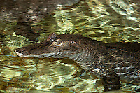 Spectacled Caiman from South America (Caiman crocodilus). Captivity.