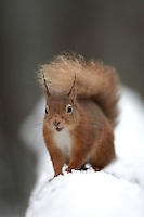 Red squirrel (Sciurus vulgaris) portrait in snow, Cairngorms National Park, Scotland.