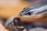 Four-lined Skink, Eumeces tetragrammus tetragrammus, adult in leaf litter, Uvalde County, Hill Country, Texas, USA