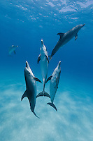 RW4776-D. Atlantic Spotted Dolphins (Stenella frontalis). Usually found in groups of 5 to 15, Atlantic spotteds occasionally congregate in larger groupings numbering a few hundred. Bahamas, Atlantic Ocean.<br /> <br /> Photo Copyright &copy; Brandon Cole. All rights reserved worldwide.  www.brandoncole.com