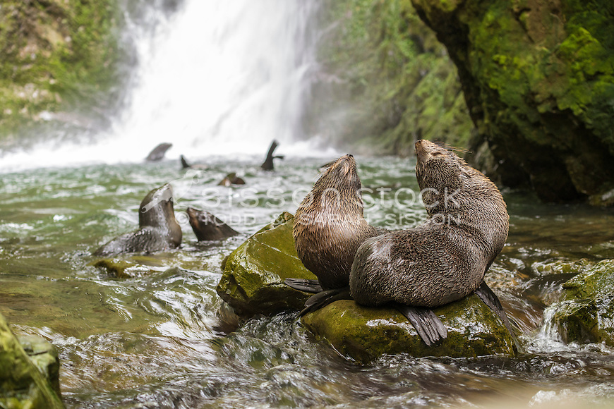 Baby fur seals, Ohau stream, Kaikoura Coast, New Zealand - stock photo, canvas, fine art print
