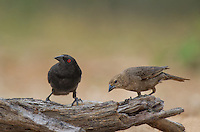 512440027 wild male and female bronzed cowbirds molothrus aeneus perches on a log on santa clara ranch starr county texas united states