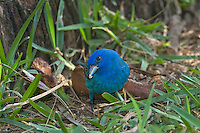 510370050 a wild male indigo bunting passerina cyanea forages on the ground on south padre island off the coast of south texas