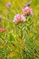 Crassulaceae (Stonecrops)