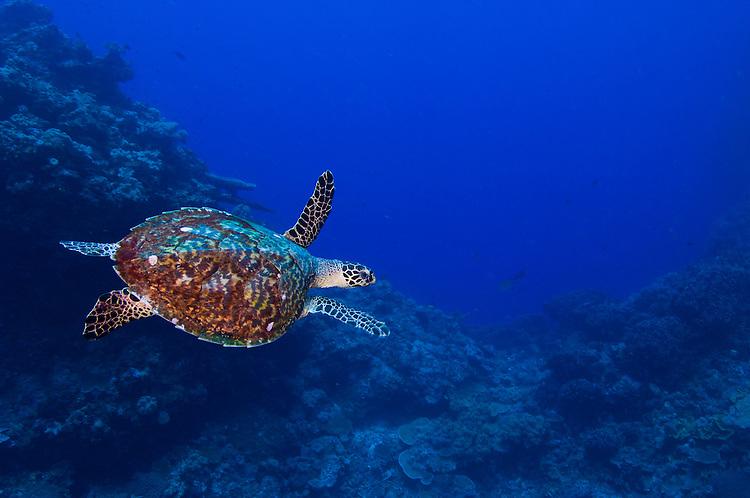 Hawksbill turtle (Eretmochelys imbricata) free swimming, Kimbe Bay