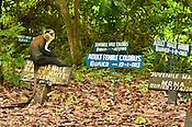 Mona monkey in monkey cemetary, Cercopithecus mona, Boabeng-Fiema Monkey Sanctuary, Ghana