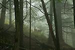 Black-tailed deer, Moran State Park, Orcas Island, Washington