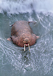 Walrus, Cape Pierce, Togiak National Wildlife Reserve, Alaska