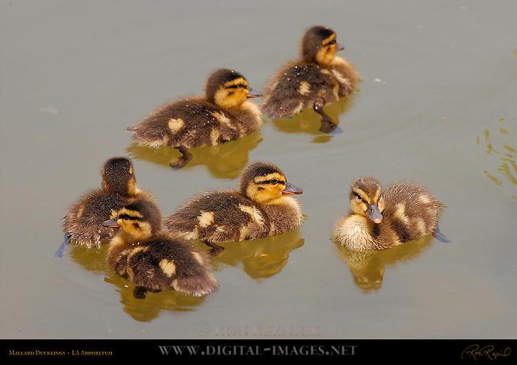 Mallard Ducklings, LA Arboretum, Southern California