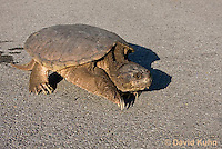 0611-0904  Snapping Turtle Crossing Paved Road, Chelydra serpentina  © David Kuhn/Dwight Kuhn Photography