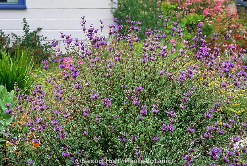 Salvia clevelandii 'Winifred Gilman', California Blue Sage flowering in California cottage garden