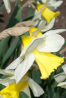 Narcissus 'Queen Mum', daffodil named for the Queen Mother