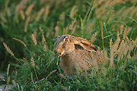 650228076 a wild black-tailed jackrabbit lepus californicus chews on wild grasses in a field in the lower rio grande valley of south texas united states
