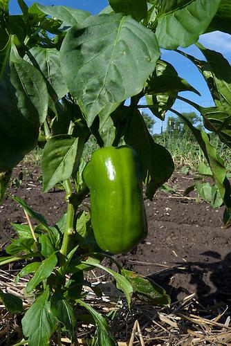 Green pepper ripening in the summer garden, Clinton MO USA
