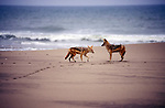 Jackals on the shore of the Namib desert  -Skeleton Coast Namibia.  This region is off limts deu to Diamond mining activiety by De Beers consequently the  Jakcals have no  fear of Human presence